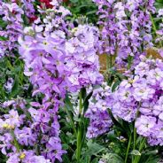 Matthiola bicornis - night scented stock - 10 grams - Bulk Discounts available